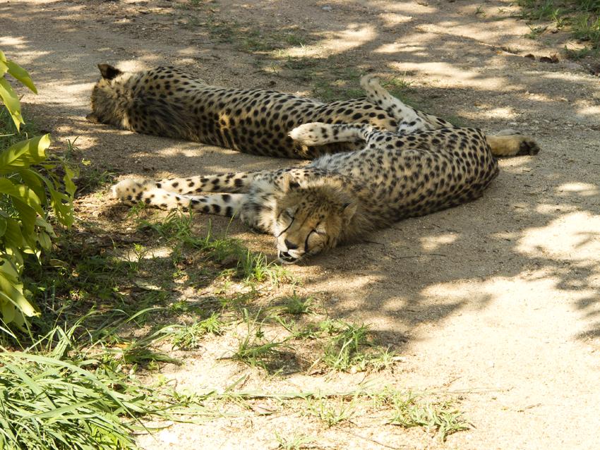 Südafrika-Geparden