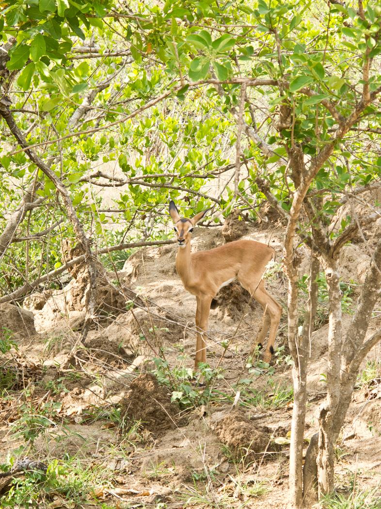 baby-impala