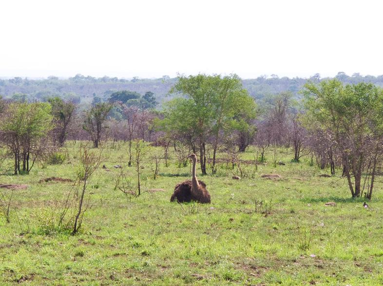brütender strauß krüger-nationalpark