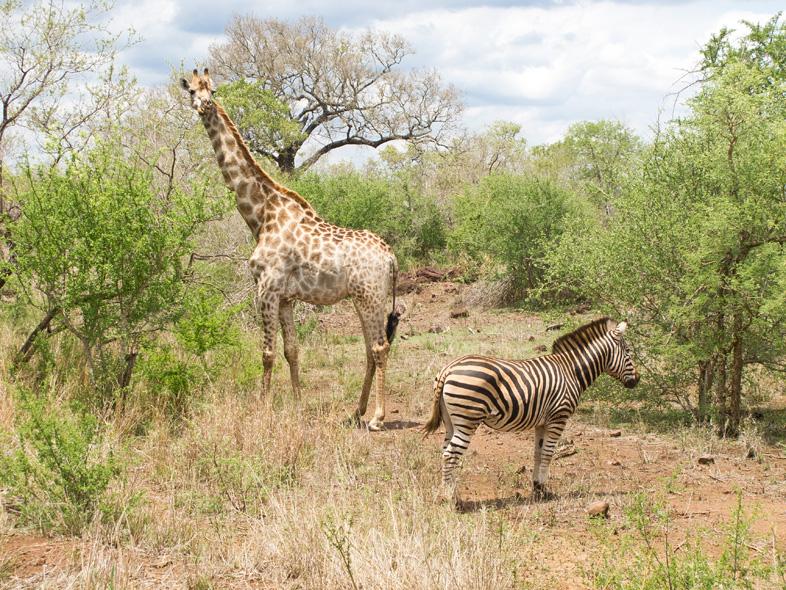 giraffe und zebra