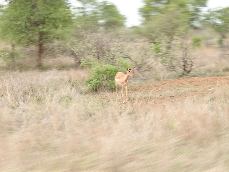 impala-weibchen
