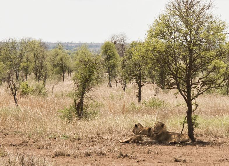 löwen krüger nationalpark