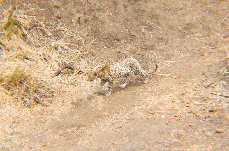 leopard krüger nationalpark