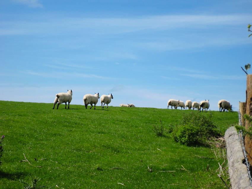 Wales Schafe