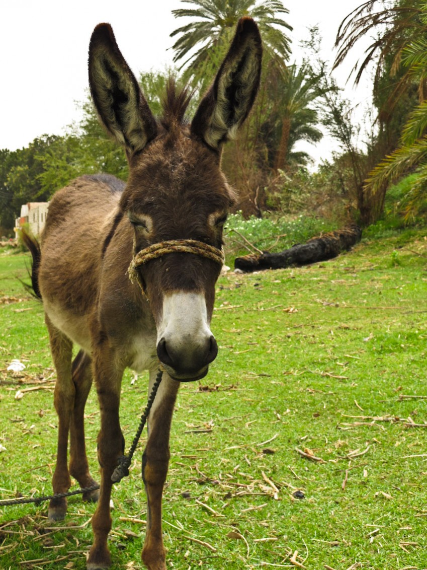 Esel Ägypten