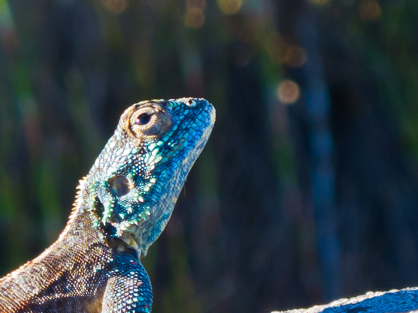 Gecko Südafrika