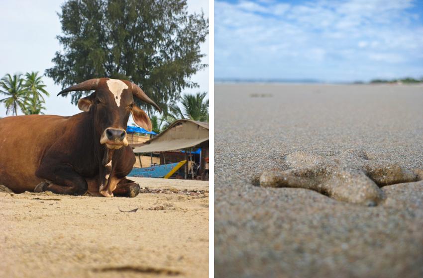 Die indische Kuh und der Seestern in Goa.