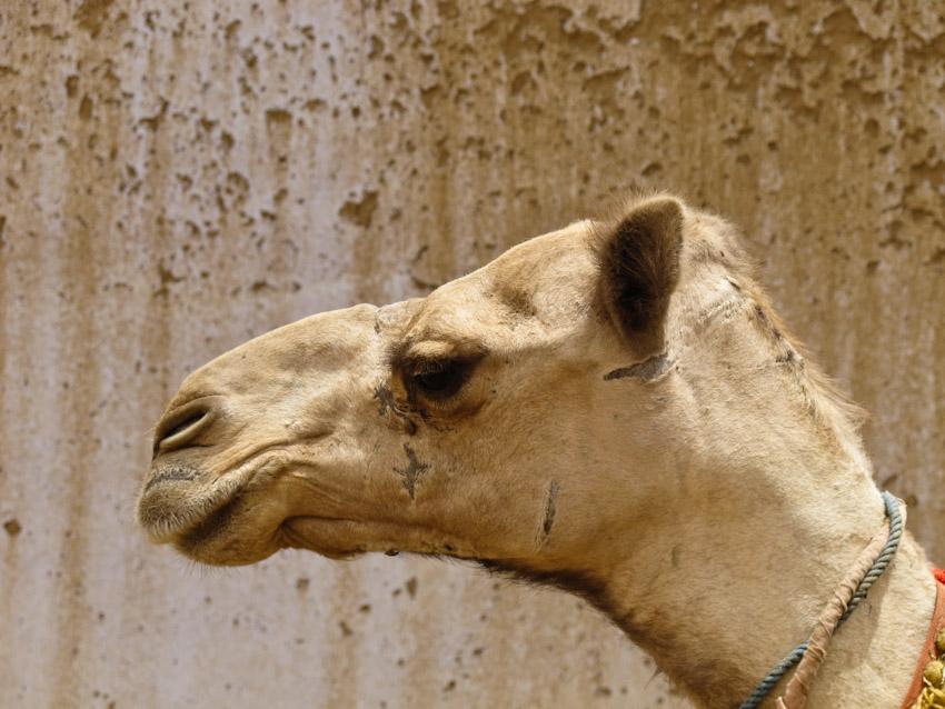 Kamel Ägypten