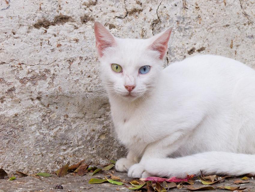 Katze Israel