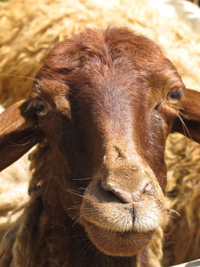 Schaf braun