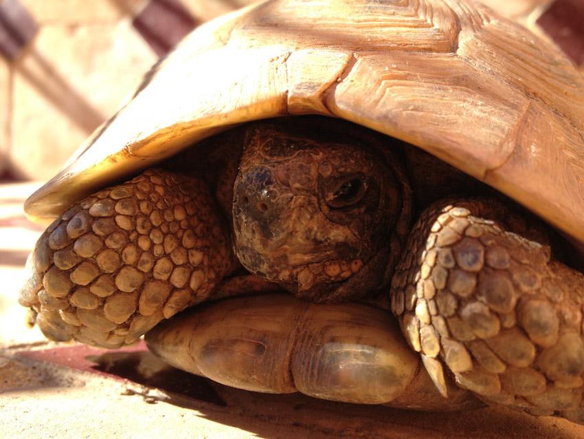 Schildkröte Marrakesch