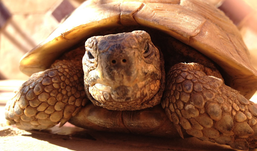 Schildkröte Marrakesch FI-2571