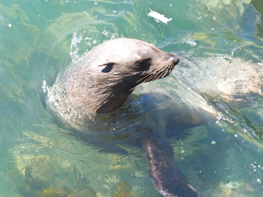 Seelöwe Südafrika