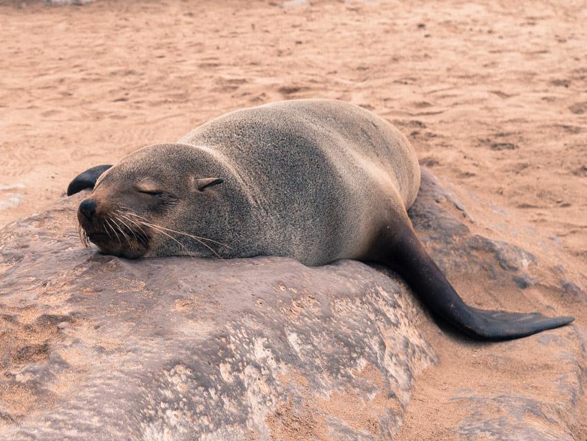 Namibia Atlantikküste Robben-1090365