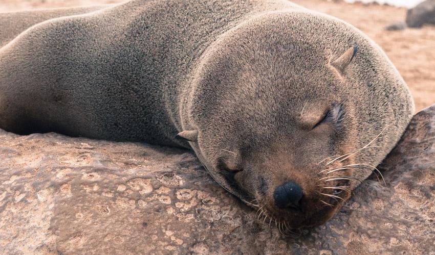 Namibia Atlantikküste Robben-1090321