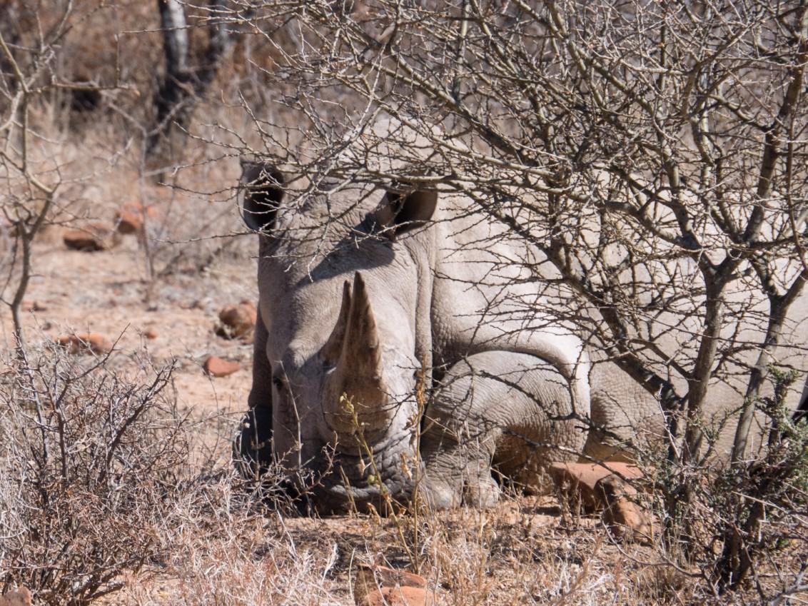 Nashorn Namibia Waterberg