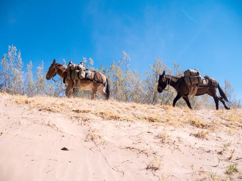 Muli Trekking im Fish River Canyon in Namibia