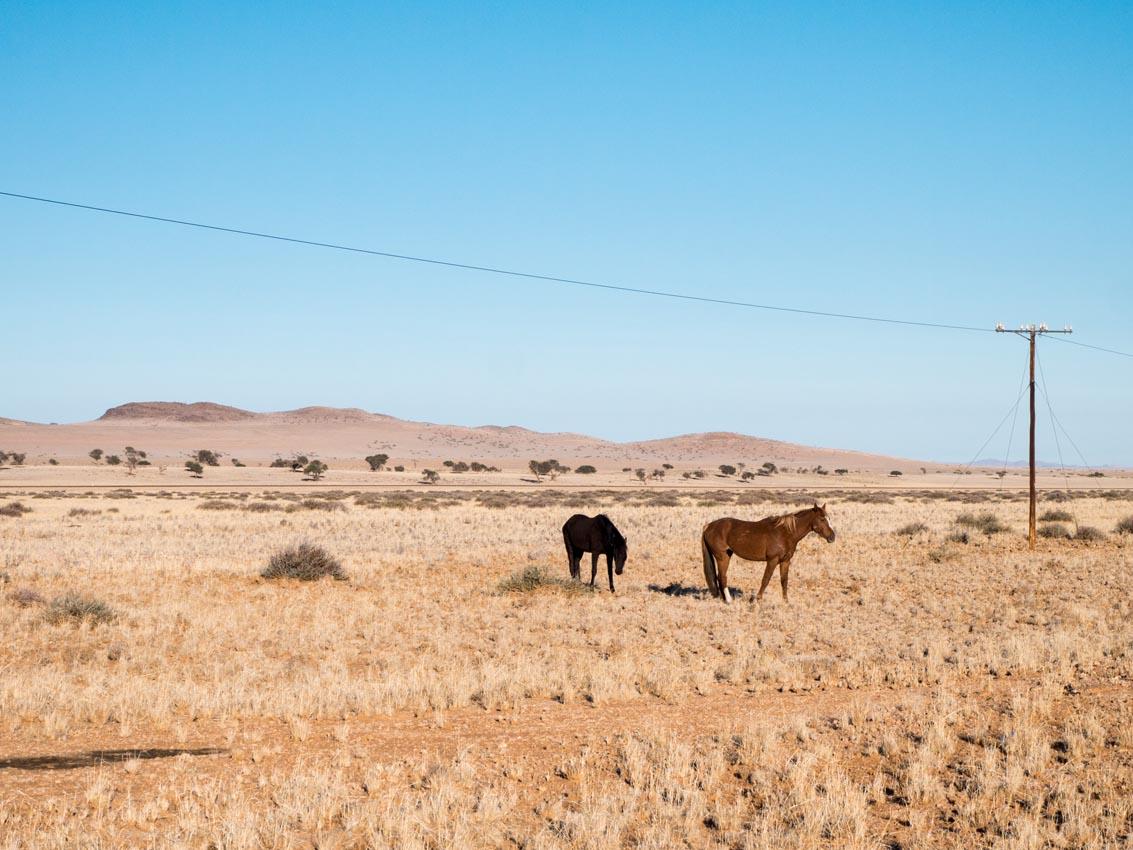 Wildpferd von Garub in der Namibwüste