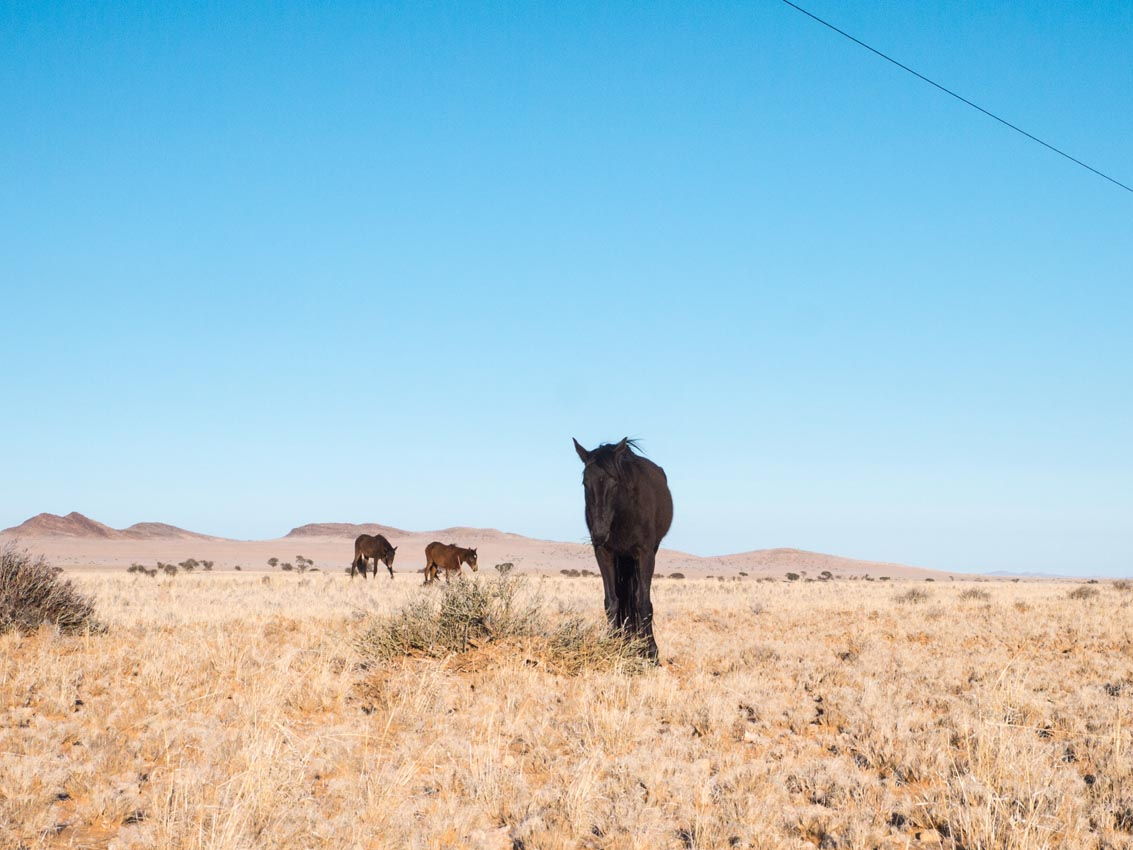 Wüstenpferd in der Wüste in Namibia
