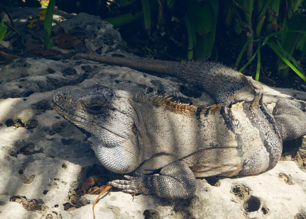 Mexiko Riesen Leguan