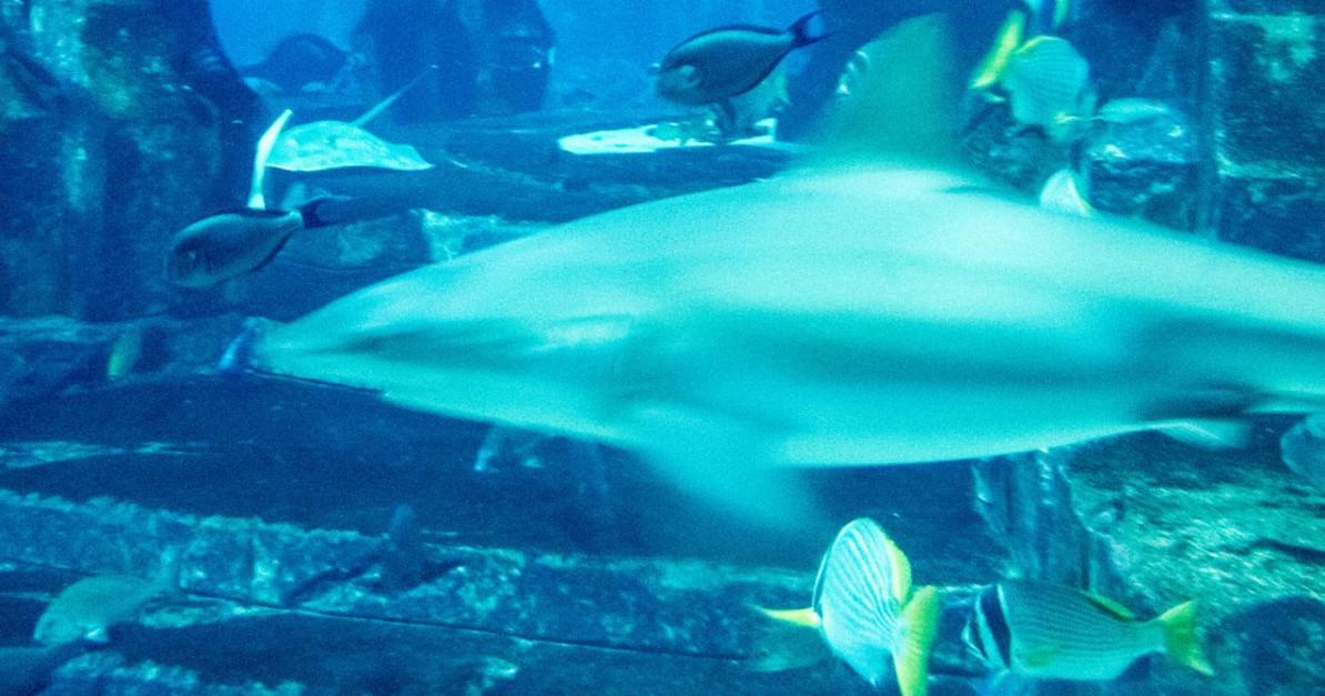 Dubai-Aquarium-Hai