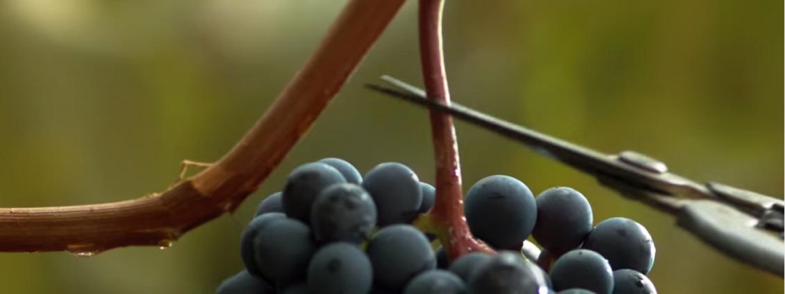 Cantina Mezzacorona_ Dove soffia forte il vino_forbice