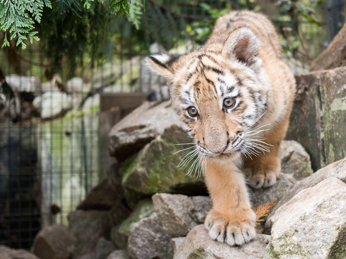Tiger_Baby_Diego_1