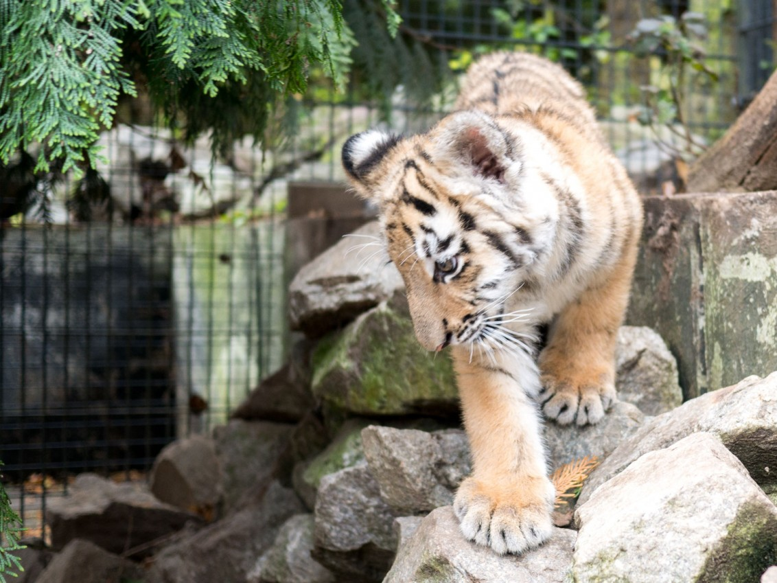 Tiger_Baby_Diego_2