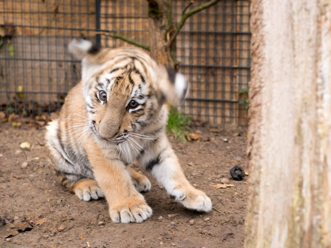 Tiger_Baby_Diego_3